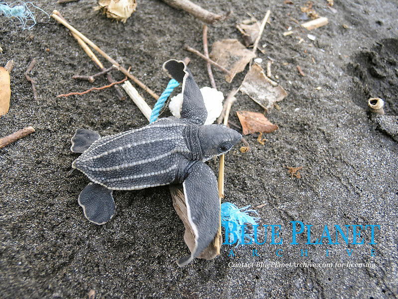 leatherback sea turtle hatchling, Dermochelys coriacea, runs through rubbish or marine debris to sea, Dominica, West Indies, Caribbean, Atlantic