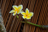 Yellow plumeria flowers outside a recreated Hawaiian thatched house at Kamokila Hawaiian Village, Wailua River Valley, Kauai.