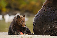 A photo of a grizzly cub eating salmon while sitting behind its mothers big butt. Grizzly Bear or brown bear alaska Alaska Brown bears also known as Costal Grizzlies or grizzly bears Grizzly Bear Photos, Alaska Brown Bear with cubs. Purchase grizzly bear fine art limited edition prints here Grizzly Bear Photo Bear Photos,