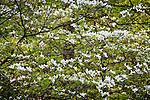Wild dogwood in Belleplain State Forest, Dennis, NJ, USA