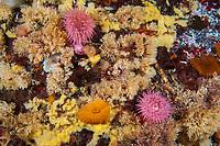 white tuft bryozoan, frilled anemones, Metridium senile, broodingg anemones, Barry Islet, British Columbia, Canada, Pacific Ocean