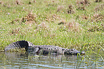 Damon, Texas; a large, American alligator resting amongst the reeds on the bank of the slough, in late afternoon sunlight