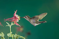 Broad-billed Hummingbird, Cynanthus latirostris, female in flight feeding on columbine, Madera Canyon, Arizona, USA, May 2005