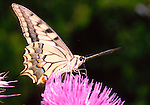 Swallowtail-Papilio machaon