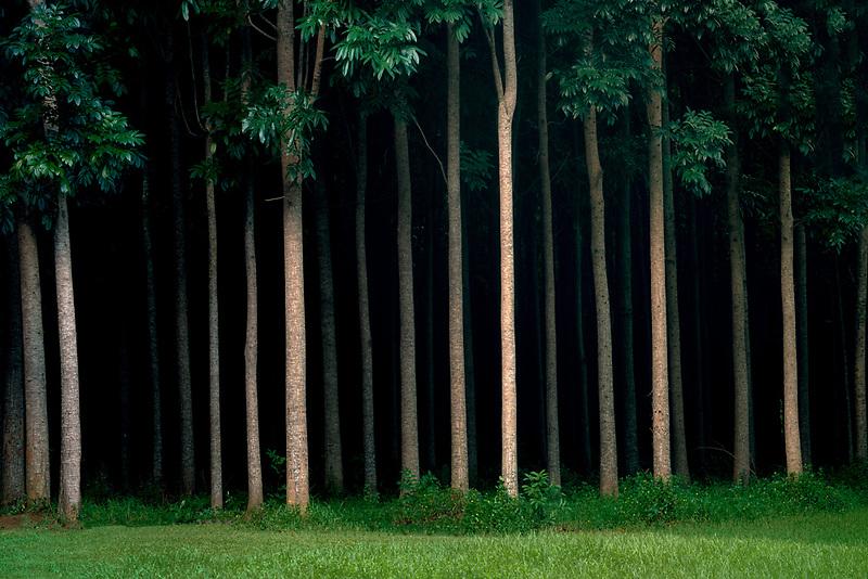 Mahi Mahakonia Mahogany Plantation. From Wai Koa Loop Trail Kauai, Hawaii