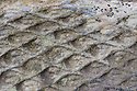 Lycopod fossil in sandstone. Peak Distirct National Park, Derbyshire, UK.