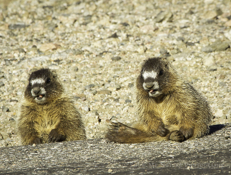 Juvenile Yellow-bellied Marmots along the road to Mount Evans
