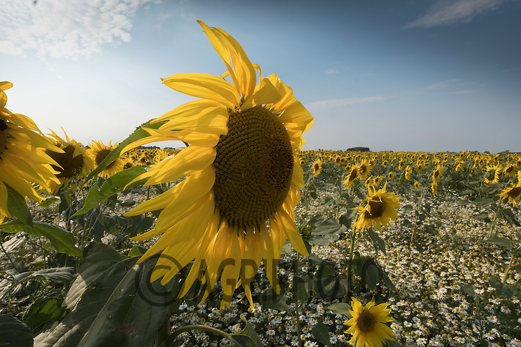 Sunflowers being grown for bird seed <br /> Picture Tim Scrivener 07850 303986<br /> ….covering agriculture in the UK….