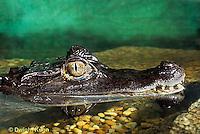 1R16-003b  Spectacled Caiman - Caiman crocodilus
