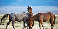 A pair of wild mustang stallions maneuver and spar while a third observes. Bachelor stallions constantly test each other to determine their place in the herd hierarchy.