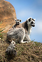 """16/05/16<br /> <br /> """"Where are we going now mum?""""<br /> <br /> Three baby ring-tail lemurs began climbing lessons for the first time today. The four-week-old babies, born days apart from one another, were reluctant to leave their mothers' backs to start with but after encouragement from their doting parents they were soon scaling rocks and trees in their enclosure. One of the youngsters even swung from a branch one-handed, at Peak Wildlife Park in the Staffordshire Peak District. The lesson was brief and the adorable babies soon returned to their mums for snacks and cuddles in the sunshine.<br /> All Rights Reserved F Stop Press Ltd +44 (0)1335 418365"""