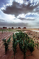 Hong Si Pu Resettlement Farmland, Zhong Ning, Ning Xia, China. Droughts and desertification are causing serious environmental problems in China...WONG  / SINOPIX