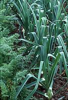Leeks and Carrots growing in vegetable garden