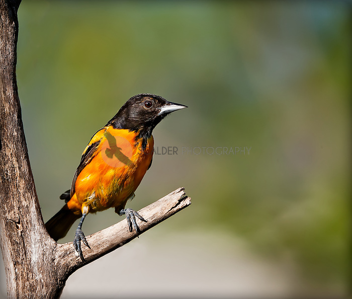 Male Baltimore Oriole perched on a branch
