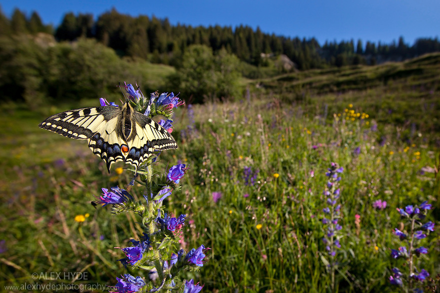 Wide angle view of Common Swallowtail butterfly {Papilio machaon} feeding on Viper's Bugloss / Blueweed {Echium vulgare} in alpine meadow. Nordtirol, Tirol, Austrian Alps, Austria, 1700 metres altitude, July.