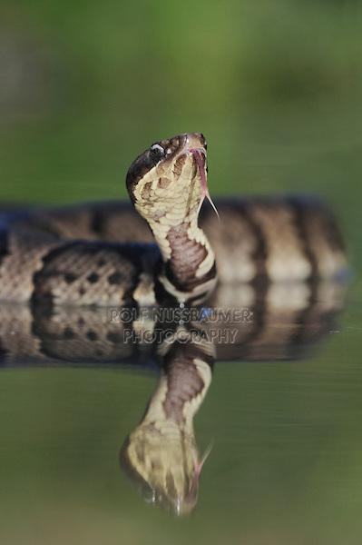 Western Cottonmouth (Agkistrodon piscivorus leucostoma), adult in lake, Refugio, Coastel Bend, Texas, USA