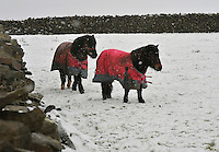 Shetland ponies in the snow near High Bentham, North Yorkshire.