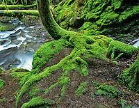 Moss on tree with small stream, Bridge Creek, Lane County, Oregon