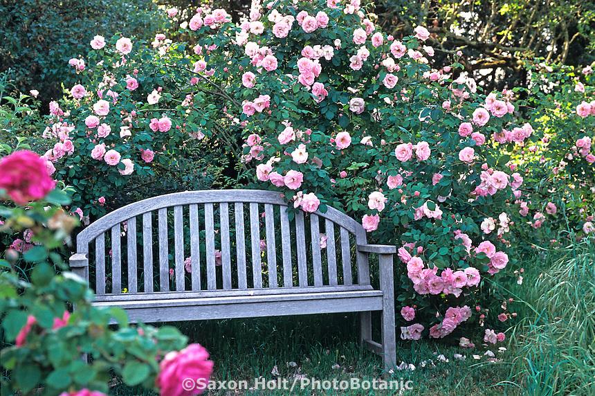 Old heirloom rose, 'Fritz Nobis' with bench, in cottage garden Credit: Michael Bates