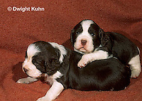 SH21-011z  Dog - English Springer puppies 11 weeks old