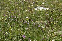 Bergwiese, Blumenwiese, Alm, Almwiese, Alpen, alpine pasture, mountain pastures, mountain pasture, Kärnten, Österreich, Austria, alp, alps