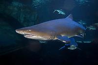 Sand Tiger Shark (Carcharias taurus) (c) . Photo taken at the Newport Aquarium, KY. USA.