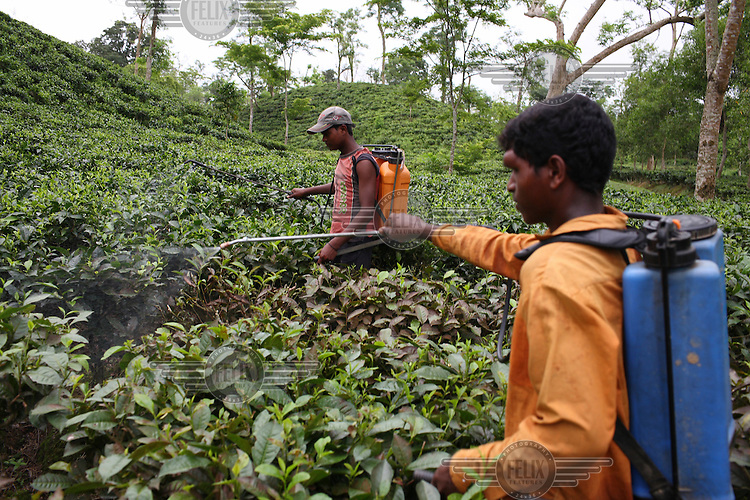 Workers spray insecticide onto the crop at the Birnai Bazaar tea plantation.
