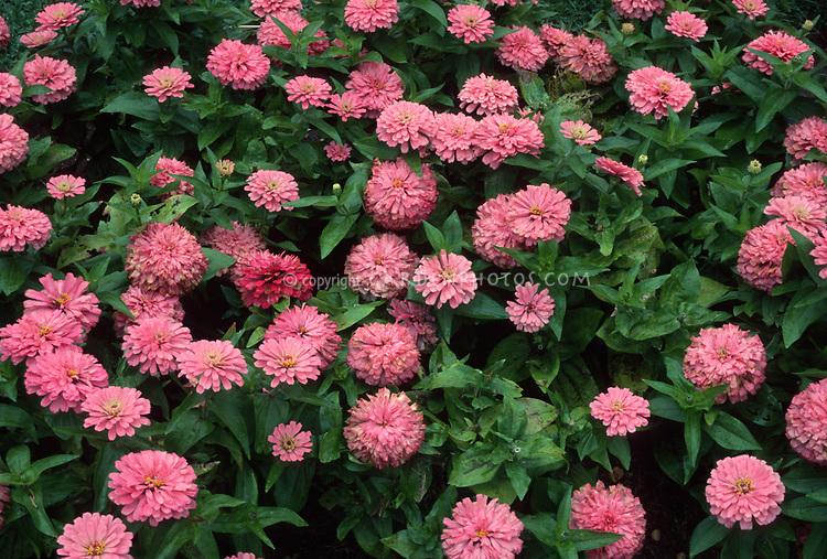 Zinnia 'Cherry Ruffles' Cut & Come Again pink zinnias, annual flowers