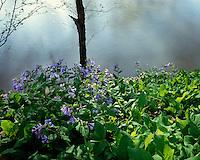 Virginia Bluebells (Mertensia virginica) in foggy sunset light; Big South Fork National River & Recreation Area, TN
