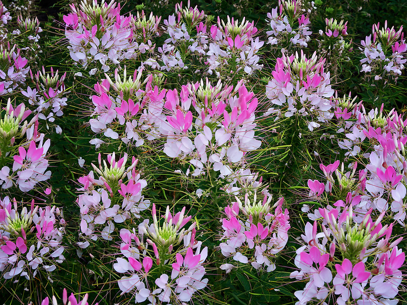 Cleome Sparkler Blush flowers. Oregon Garden, Silverton, Oregon