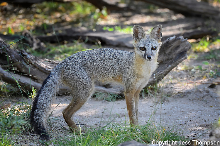 Gray Fox, South Llano River State Park, Texas