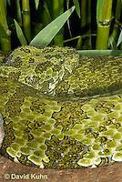 0430-1106  Mang Mountain Pit Viper (China Mangshan Pitviper), Only Non Cobra that Can Spit Venom, Zhaoermia mangshanensis (syn. Trimeresurus mangshanensis)  © David Kuhn/Dwight Kuhn Photography