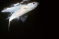 California flying fish, Cypselurus californicus, California coast, USA, Pacific