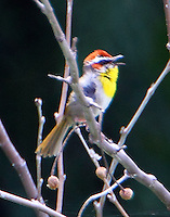 Rufous-capped warbler singing