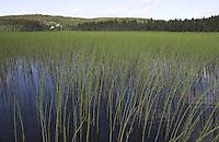 Teich-Schachtelhalm, Teichschachtelhalm, Schlamm-Schachtelhalm, Schachtelhalm, Equisetum fluviatile, syn. Equisetum limosum, Horsetail, Water Horsetail, Swamp Horsetail