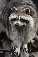 North American Raccoon or northern raccoon