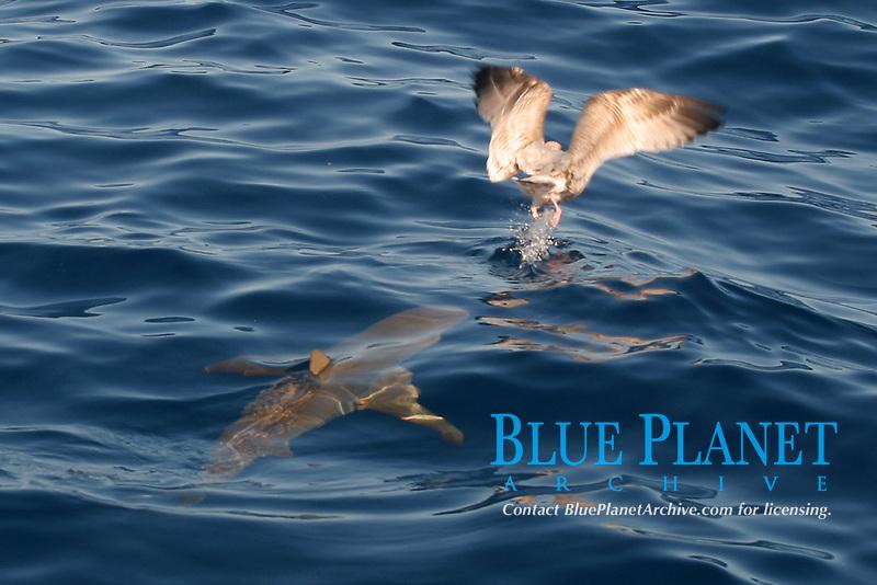 Caribeen reef shark, Carcharhinus perezii, stalking seagull, Little bahama bank, Bahamas, Caribbean, Atlantic