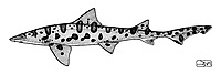 Leopard shark, Triakis semifasciata, lateral view, pen and ink illustration.