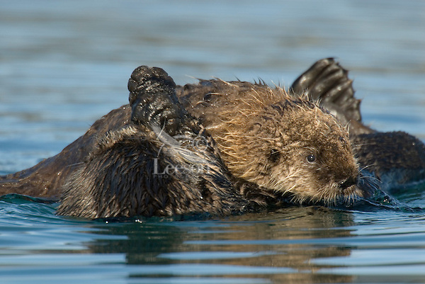 Sea Otter (Enhydra lutris) mom and pup