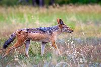 Wild Dogs, Hyena and Jackals