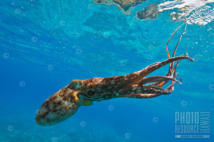 A lone octopus (or he'e) swims near a reef in Hawai'i.