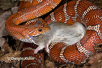 1R22-643z  Corn Snake, Banded Corn Snake, Elaphe guttata guttata or Pantherophis guttata guttata, catching and eating mouse