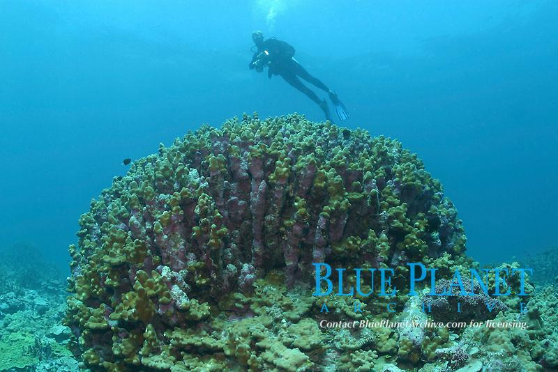 scuba diver and hard coral, Porites species? Lisianski, Papahanaumokuakea Marine National Monument, Northwestern Hawaiian Islands, Hawaii, USA, Pacific Ocean