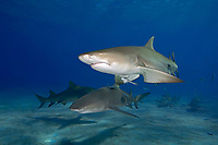 Lemon Sharks, Negaprion brevirostris, and Sharksuckers, Echeneis naucrates, West End, Grand Bahama, Bahamas, Caribbean, Atlantic Ocean
