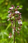Une des 8 espèces d'orchidées sauvages présente sur les milieux calcaires(ici une Ophrys scolopax)parc national de paklenica.wild orchid national park of paklenica