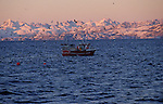 Each november, hundreds of orcas (killer whales) enter the tysfjord, 200 km south of Narvik, hunting herrings. They stay all the winter in these cold waters. Big fishing boats catch herrings and respect orcas. Tysfjord. Norway.