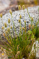 Plantago ovata, Desert plantain flowering in Sonoran Desert at Anza Borrego California State Park