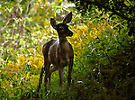 A doe familiar with the photographer allowed him to approach while she was hiding in the trees below the Mt. Lebanon swimming pool and watching others near the pool one afternoon.