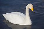 Hokkaido, Japan<br /> Single Whooper Swan (Cygnus cygnus) on an open section of frozen Lake Kussharo, Akan National Park