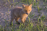 Red Fox Kit outside its den in the late evening light